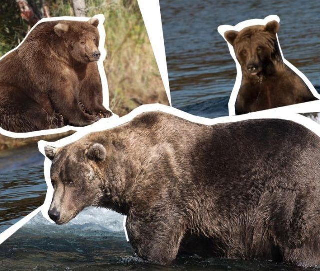But Which Bears Bulk Will Bury The Competition In The  Fat Bear Week Photo Illustration Smithsonian Com Photos Of Contenders Katmai National
