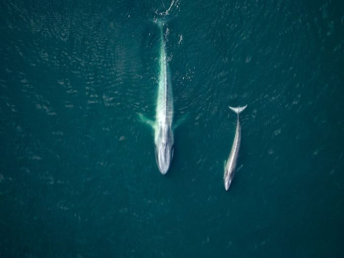 Blue Whale Mother and Calf