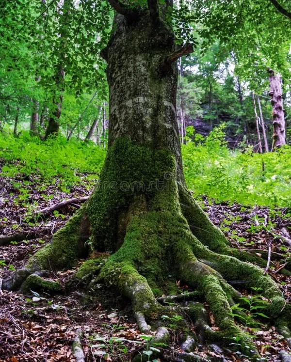 Большие корни деревьев с мхом Стоковое Фото - изображение ...