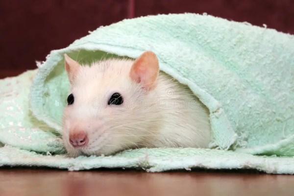 домашняя крыса стоковое фото. изображение насчитывающей ...