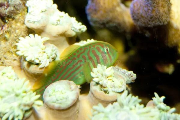 Краб оформителя с кроной коралла. Стоковое Изображение ...