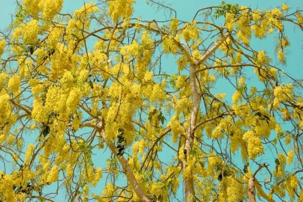 Золотая фистула ливня или кассии в Cyan небе, национальном ...