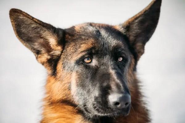 Красивая молодая собака немецкой овчарки Брайна Стоковое ...