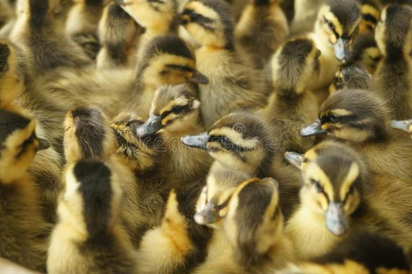 Милые маленькие утки стоковое фото. изображение ...