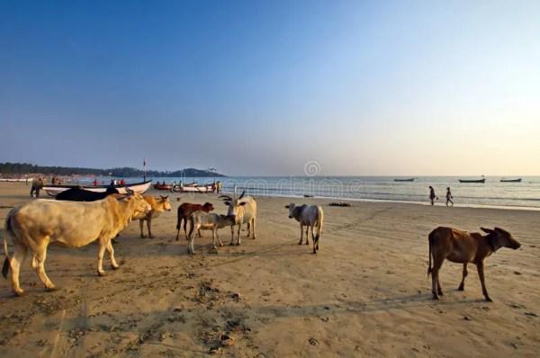 Пляж Palolem Индия Goa, пляжи с святыми коровами коровы ...