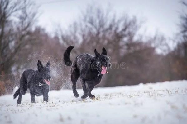 Собака немецкой овчарки с теннисным мячом Стоковое ...