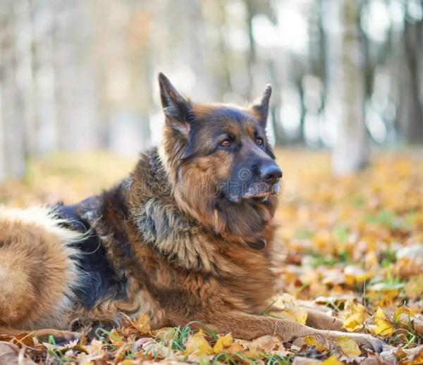 Состав собаки немецкой овчарки Стоковое Фото - изображение ...