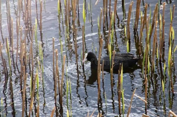 Плавание в воде, взгляд утки Брауна сверху Стоковое Фото ...