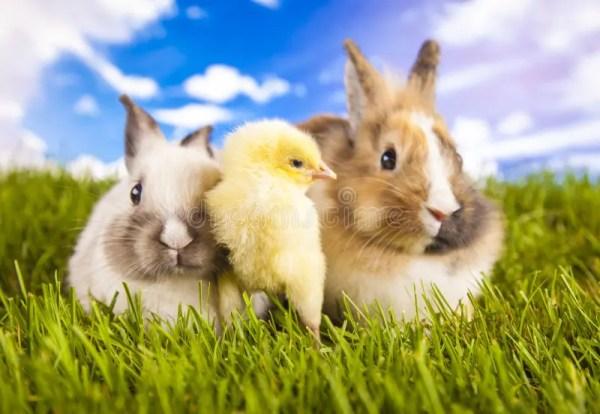 Пасха, кролик, цыпленок, раковина Стоковое Фото ...