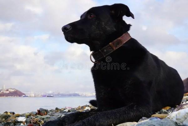 Черная задумчивая собака с ярким глазом на предпосылке ...