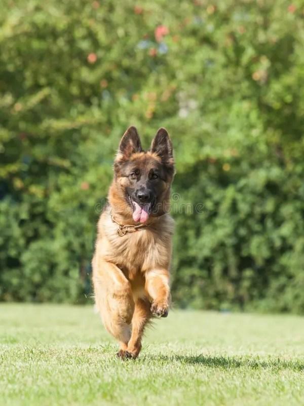 чистоплеменная собака немецкой овчарки на зеленой ...