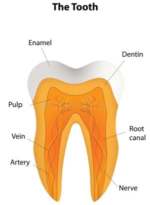 Anatomical Tooth Labeled Diagram Stock Vector