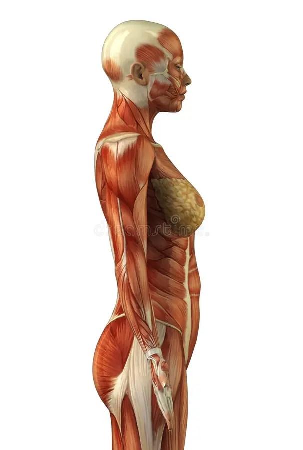 Anatomy of female muscular system
