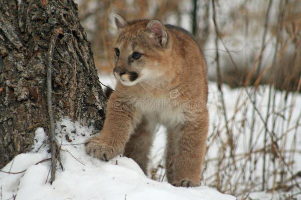 Baby cougar in the snow stock image. Image of peeking ...