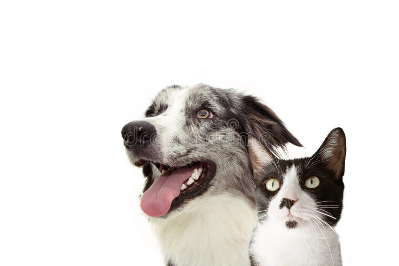 Black And Collie Together Border And White Black Cat Mix