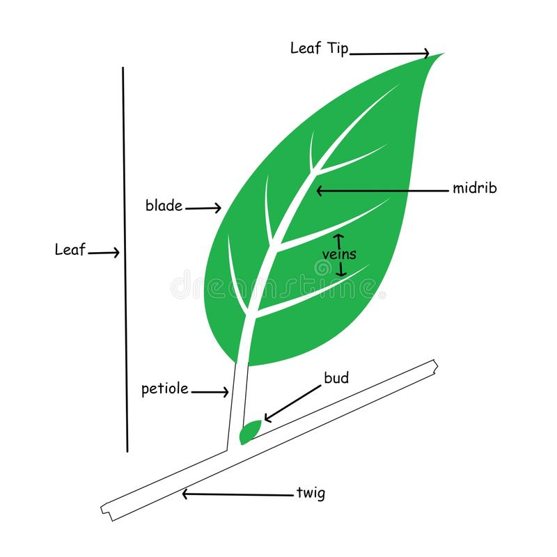 Simple Leaf Diagram Unlabeled - Trusted Wiring Diagrams •
