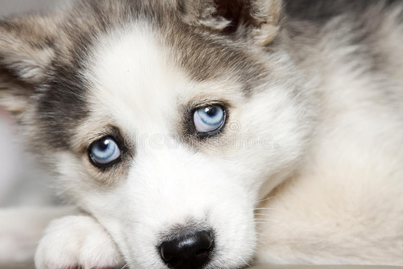 Blue Eyes Of Cute Siberian Husky Puppy Stock Image Image