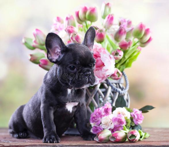 Bulldog Puppy And A Bouquet Of Flowers Stock Photo   Image of     Download Bulldog Puppy And A Bouquet Of Flowers Stock Photo   Image of  birthday  holiday