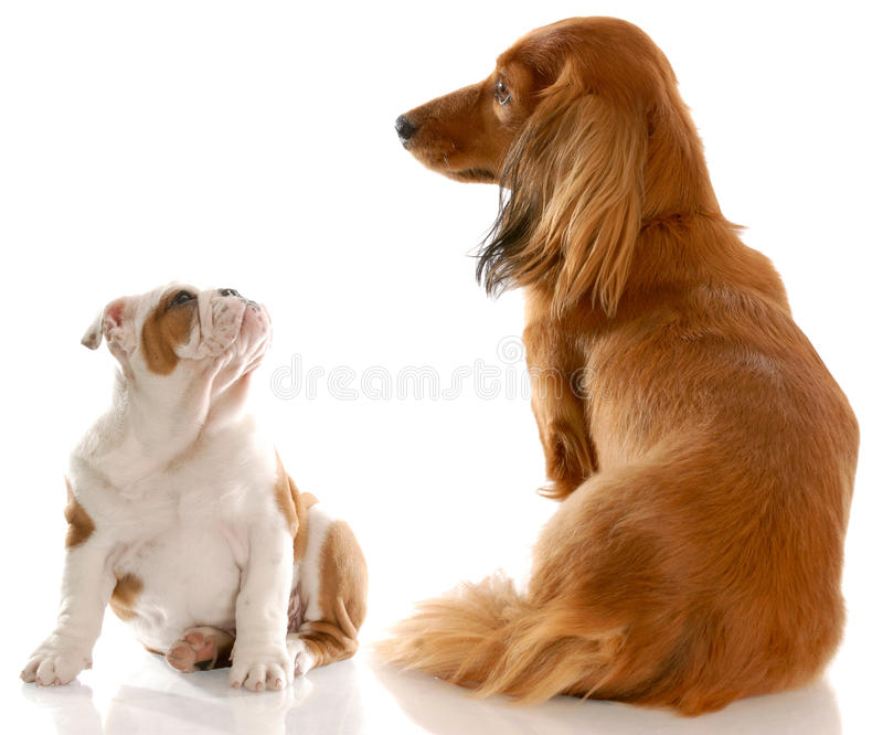 Bulldog Puppy And Dachshund Royalty Free Stock Images