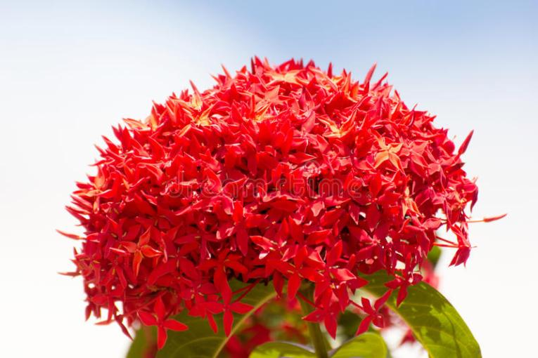 Bunch Of Beautiful Red Ixora Flowers  Indian Jasmine  Scientific     Download Bunch Of Beautiful Red Ixora Flowers  Indian Jasmine  Scientific  Stock Photo   Image