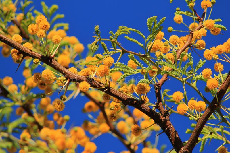Camelthorn African Spring Blossoms Royalty Free Stock