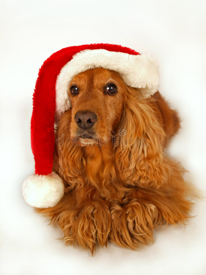Cocker Spaniel With Red Christmas Hat Stock Photo Image
