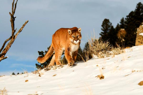 Cougar in winter snow stock image. Image of mountain ...