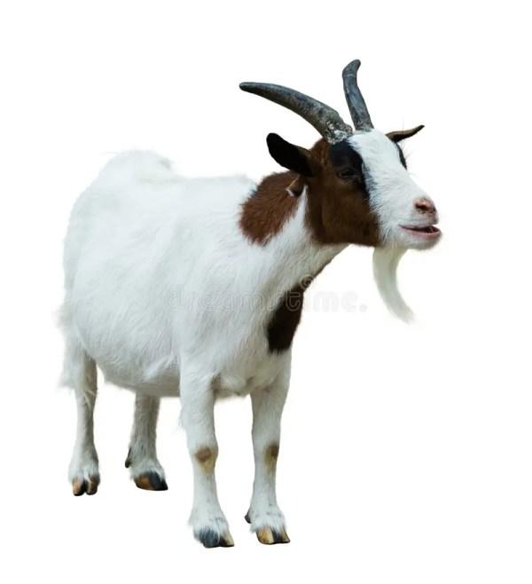 Farm Goat Isolated On White Stock Image Image of goat