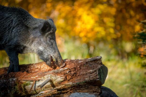 Foraging boar close-up stock image. Image of brown, gold ...