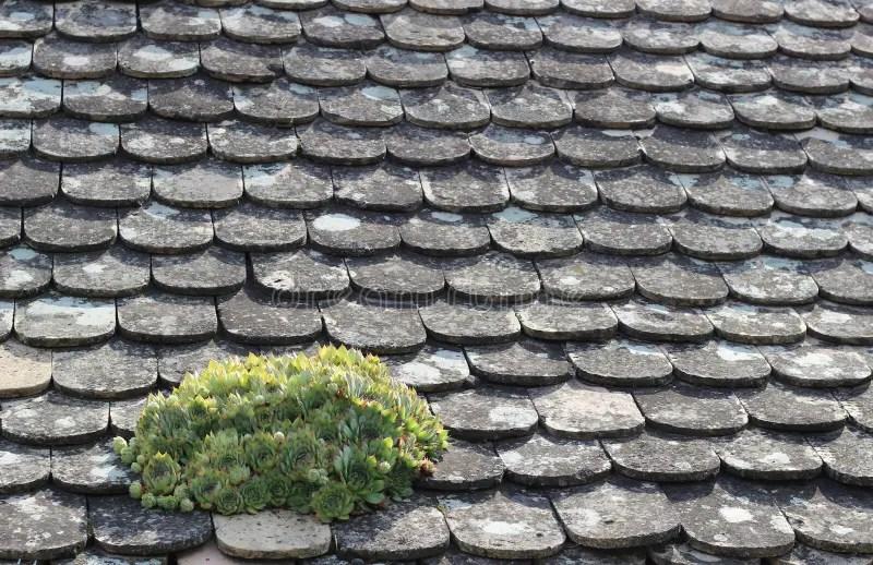 houseleek on a roof stock image image