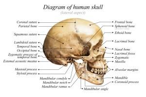 Human skull diagram stock photo Image of chart, education