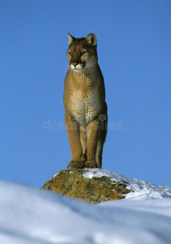 Mountain Lion On Snowy Rock Stock Photo - Image of cougar ...