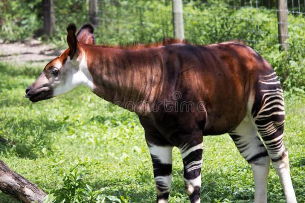 Okapi stock image Image of animal black breed