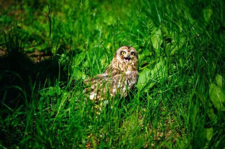Owl sits in the green grass on sunny day outdoors. Little owl with open beak, close-up