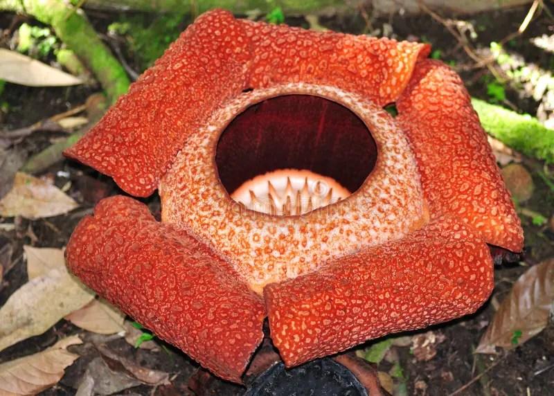 Rafflesia,最大的花在世界上 庫存照片. 圖片 包括有 rafflesia,最大的花在世界上 - 37528692