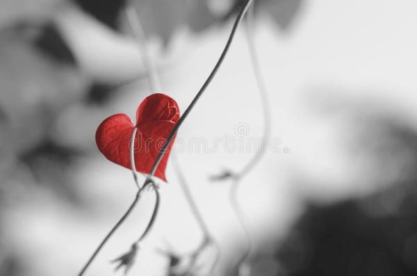 Red heart shaped leaf stock photo Image of glory passion