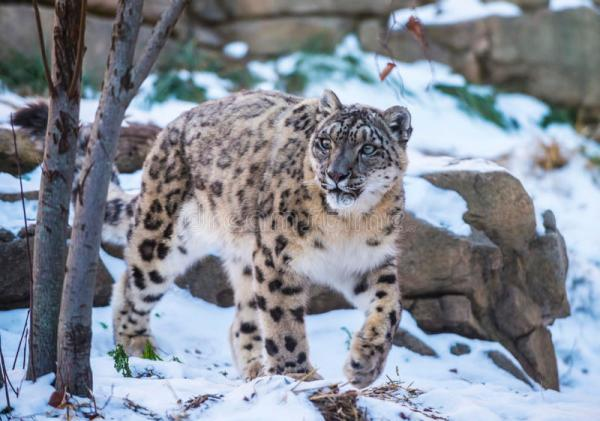 Snow Leopard stock photo. Image of rare, cougar, snow ...