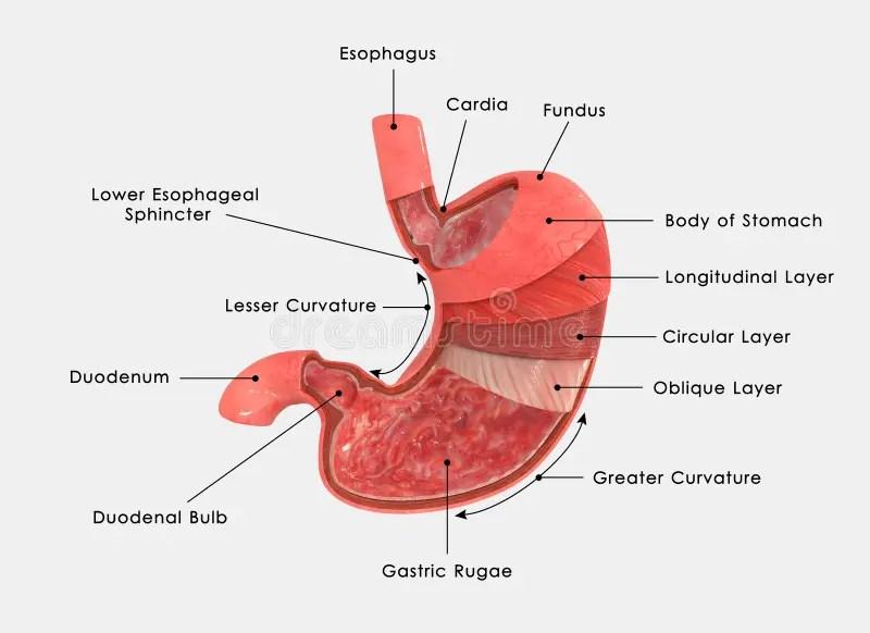Diagram Of The Pyloric Sphincter