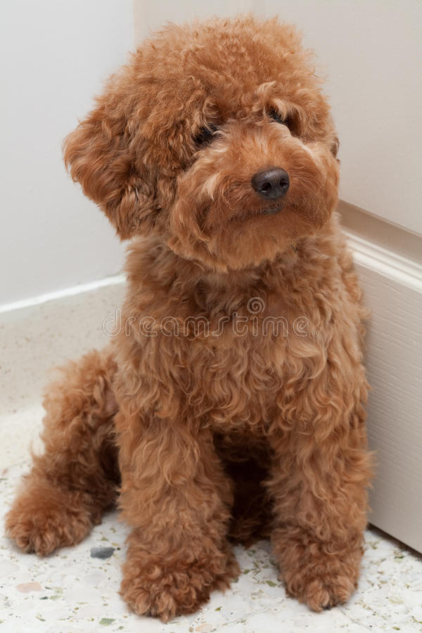 Toy Poodle With A Sad Expression 4 Stock Photo Image Of