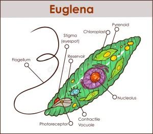 Vector Euglena Cross Section Diagram Representative Protists Eug Stock Vector  Illustration of