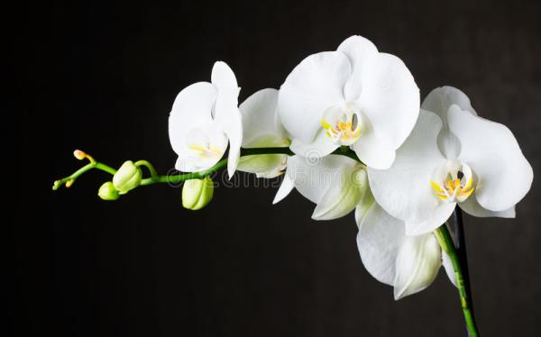 White Orchids Against Dark Background Stock Image Image