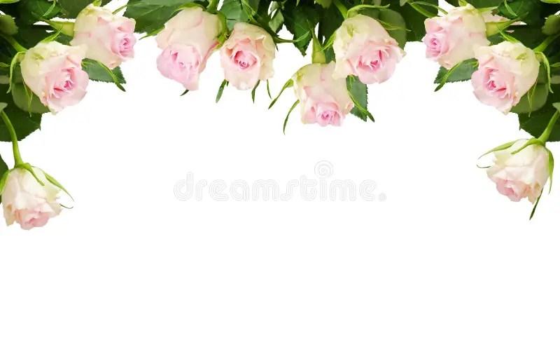 White Rose Flowers Border Stock Image. Image Of
