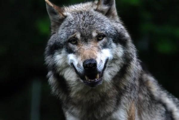 Wolf Royalty Free Stock Photos Image 1667488