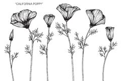 California Poppy Flowers Drawing And Sketch  Stock Illustration     California poppy flowers drawing and sketch  Royalty Free Stock Photos