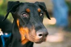 Close Up Black Doberman Dog Outdoor Stock Photos