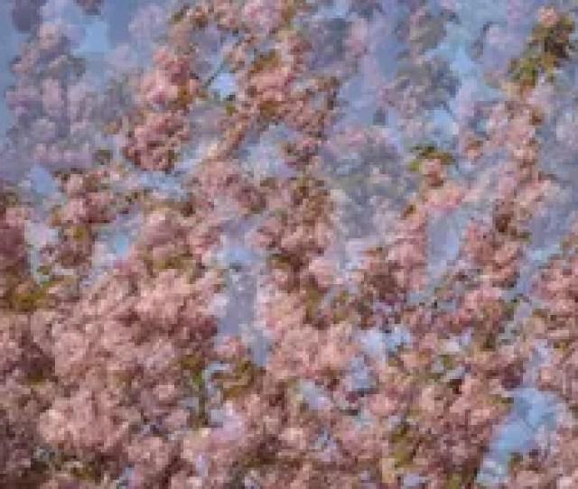 Japanese Cherry Blossom Imagination Wallpaper Stock Image Image Of Pink Exposure 114858229