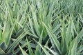 Aloe Vera Background Stock Photo - 28746040