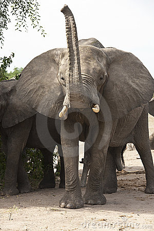 Angry Bull Elephant Africa Stock Image Image 15030451