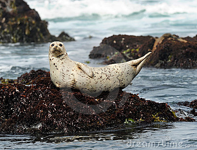 California harbor seal on rock,big sur, california
