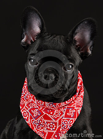 Dog Wearing Red Scarf Royalty Free Stock Image Image